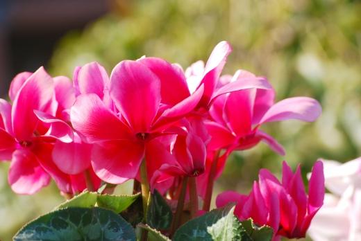 ピンクのシクラメンの写真素材