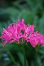 ピンクのネリネの写真素材