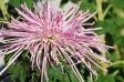 ピンクの糸状花弁の菊の写真素材