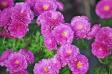 ピンクの小菊の写真素材01