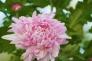 ピンクの小菊の写真素材02