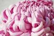 ピンクの大輪の菊の写真素材