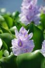 ホテイアオイの花の写真素材01