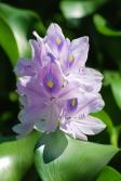 ホテイアオイの花の写真素材02