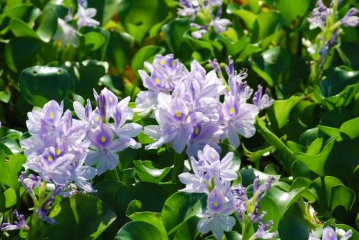 ホテイアオイの花の写真素材03