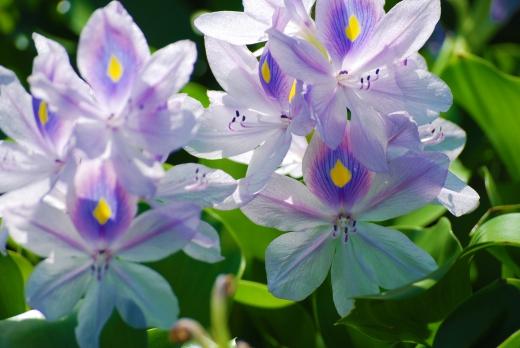 ホテイアオイの花の写真素材04