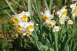 一群の水仙の写真素材02