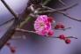 一輪の紅梅の写真素材