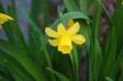 黄色の水仙の写真素材