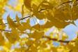 黄葉の銀杏(イチョウ)の写真素材