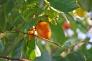 柿の実の写真素材