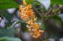 金木犀の花の写真素材