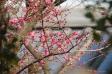 紅梅の花と蕾の写真素材