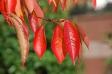 紅葉した桜の葉の写真素材