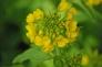 菜の花の写真素材