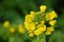 菜の花の写真素材02
