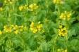 菜の花畑の写真素材