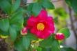 山茶花の写真素材
