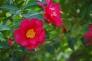 山茶花の写真素材02