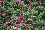 山茶花の生垣の写真素材
