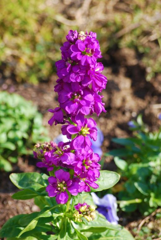 紫のストックの写真素材