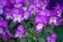 紫のビオラの写真素材