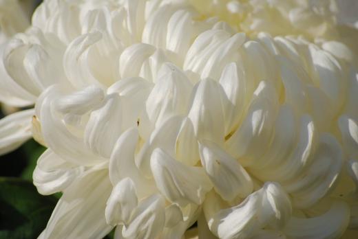真っ白な大輪の菊の写真素材