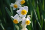 白い水仙の写真素材