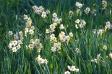 水仙の群生の写真素材