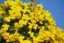 黄色いビオラの写真素材