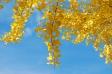 黄葉の銀杏(イチョウ)の写真素材02