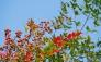 南天の実の写真素材01