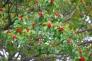 赤い実を付けたモチの木の写真素材