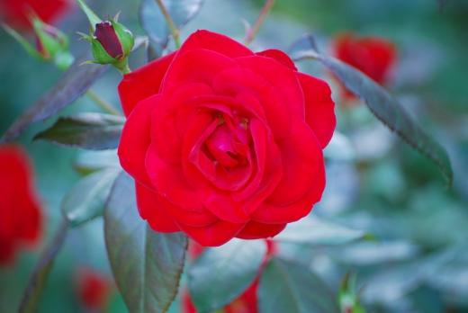 バラの写真素材05