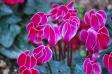 赤紫のシクラメンの写真素材
