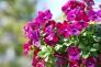 赤紫のビオラの写真素材