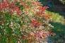 南天の群生の写真素材