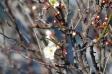 白梅の開花の写真素材