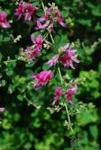 萩の花の写真素材01