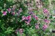 萩の花の写真素材02