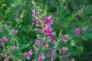 萩の花の写真素材03