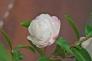 山茶花の写真素材03