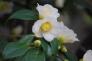 山茶花の写真素材04