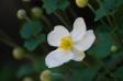 白い秋明菊の写真素材