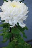 真っ白な大輪の菊の写真素材02