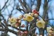 白梅の写真素材