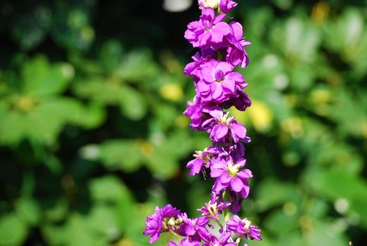 紫のストックの写真素材02
