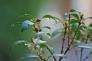 柊と雨露の写真素材