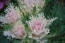 葉牡丹の写真素材