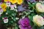 葉牡丹の写真素材02